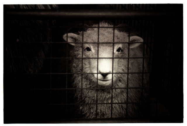 File:Sheep-cage.jpg
