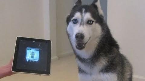 Husky Dog Sings with iPAD - Better than Bieber! (now on iTunes!)