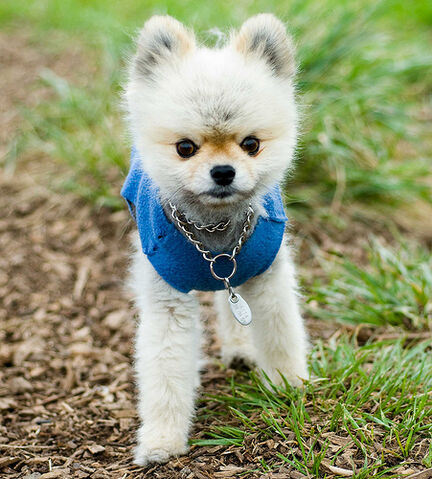 File:Shaved pomeranian.jpg