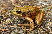 Red-legged-frog-Rana-aurora-by-Ivan-Phillipsen