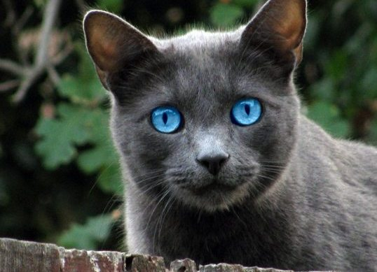 Dark Gray Cats With Blue Eyes