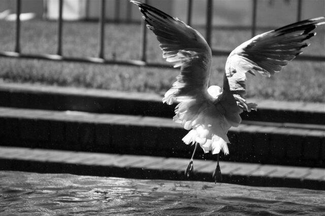 File:Seagull1.jpg