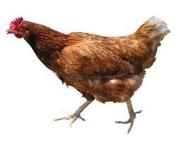 File:A chicken.jpg