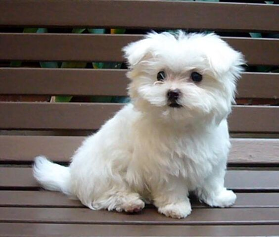 File:1277481636 101884228 2-Maltese-Puppy-for-sale-Long-Beach.jpg