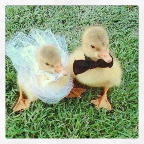 File:Duck marriage.jpg
