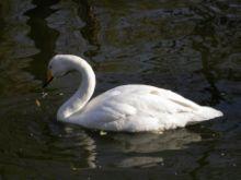 File:Whooper Swan.jpg