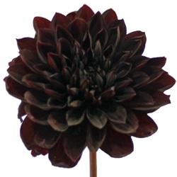 File:Black Burgundy Dahlia Flower.jpg