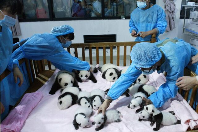 File:Theseareverycutepandas.jpg