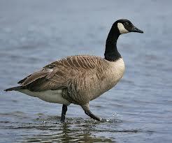 File:A goose.jpg