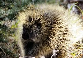File:A porcupine.jpg