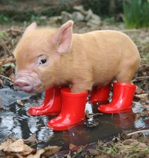 File:Intelligent-Teacup-Piglet-Large-Image.jpg