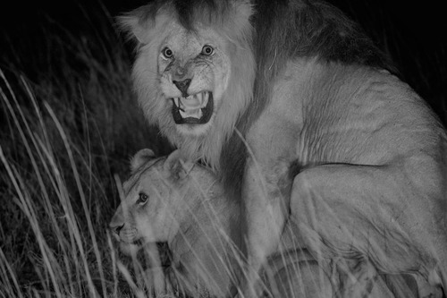 File:Lionmating.jpg