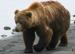 File:A brown bear.jpg
