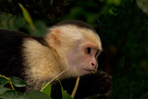 File:White faced capuchin4.jpg