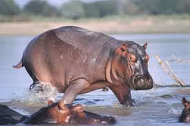File:A Hippopotamus.jpg