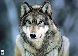 Wolf animagus