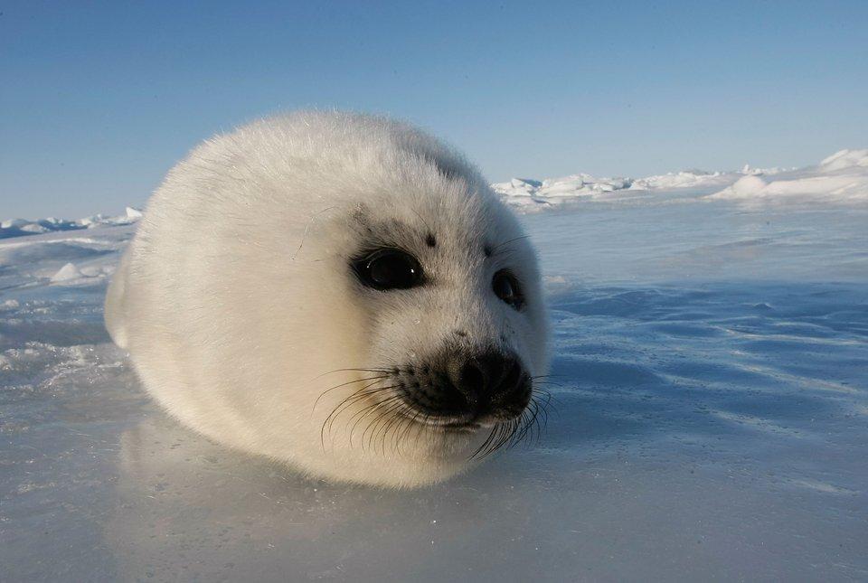 Fluffly_Seal.jpg