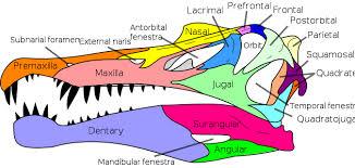 Spino Skull