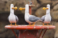 Seagulls Disneyland Close up