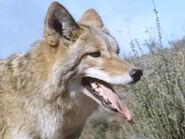 1965-coyote-2