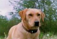 Luath the Labrador Retriever