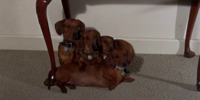 The Dachsies