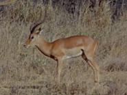 12. Impala