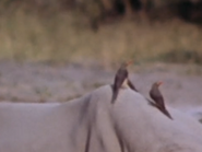 21. Red-Billed Oxpecker