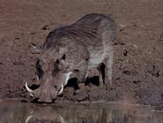 16. Warthog