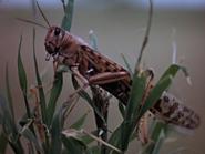 42. Desert Locust