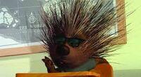 Morkubine Porcupine2