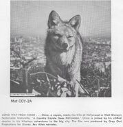 A Country Coyote Goes Hollywood print ad 3