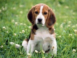 English Beagle