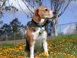 Beagle in garden