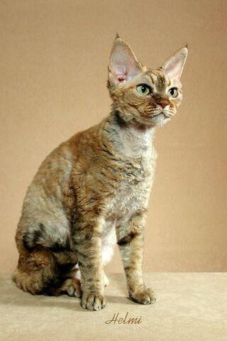 File:Devon Rex cat 2.jpg