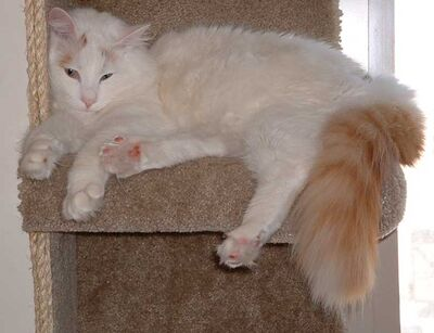 Cute Turkish Van