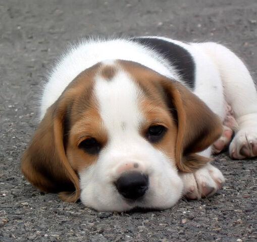 File:Beagle cute puppy.jpg