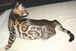 Leopard Bengal
