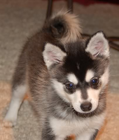 Alaskan Klee Kai  Dogs and Cats Wiki  Fandom powered by Wikia