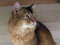 Somali cat2