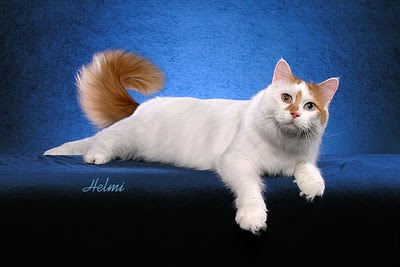 Turkish Van 3