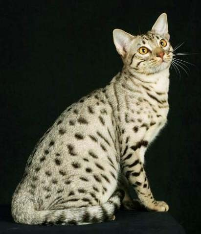 File:Ocicat cat 2.jpg