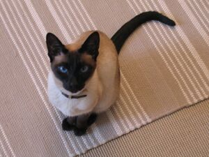Siamese cat sitting