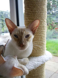 Cinnamon Point Siamese
