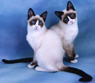 File:Snowshoe cats.jpg