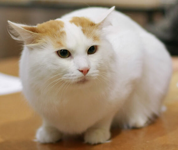File:Turkish Van cat.jpg