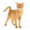 Abyssinian Cat 2.jpg