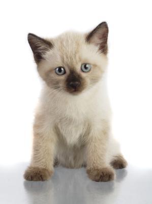 File:Siamese kitten.jpg