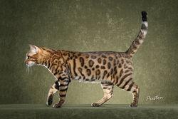 Bengal cat 6