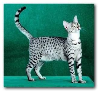File:Egyptian Mau cat.jpg